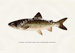 Great Lake Trout (Adult Male) Christivomer-Namaycush